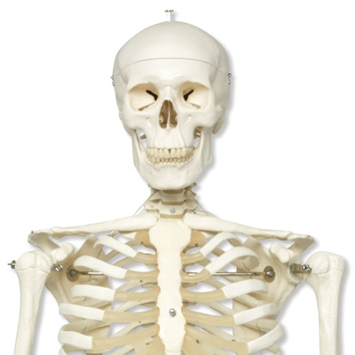 Replacement Skull for Anatomical Model Skeleton Stan A10 :: Sports ...